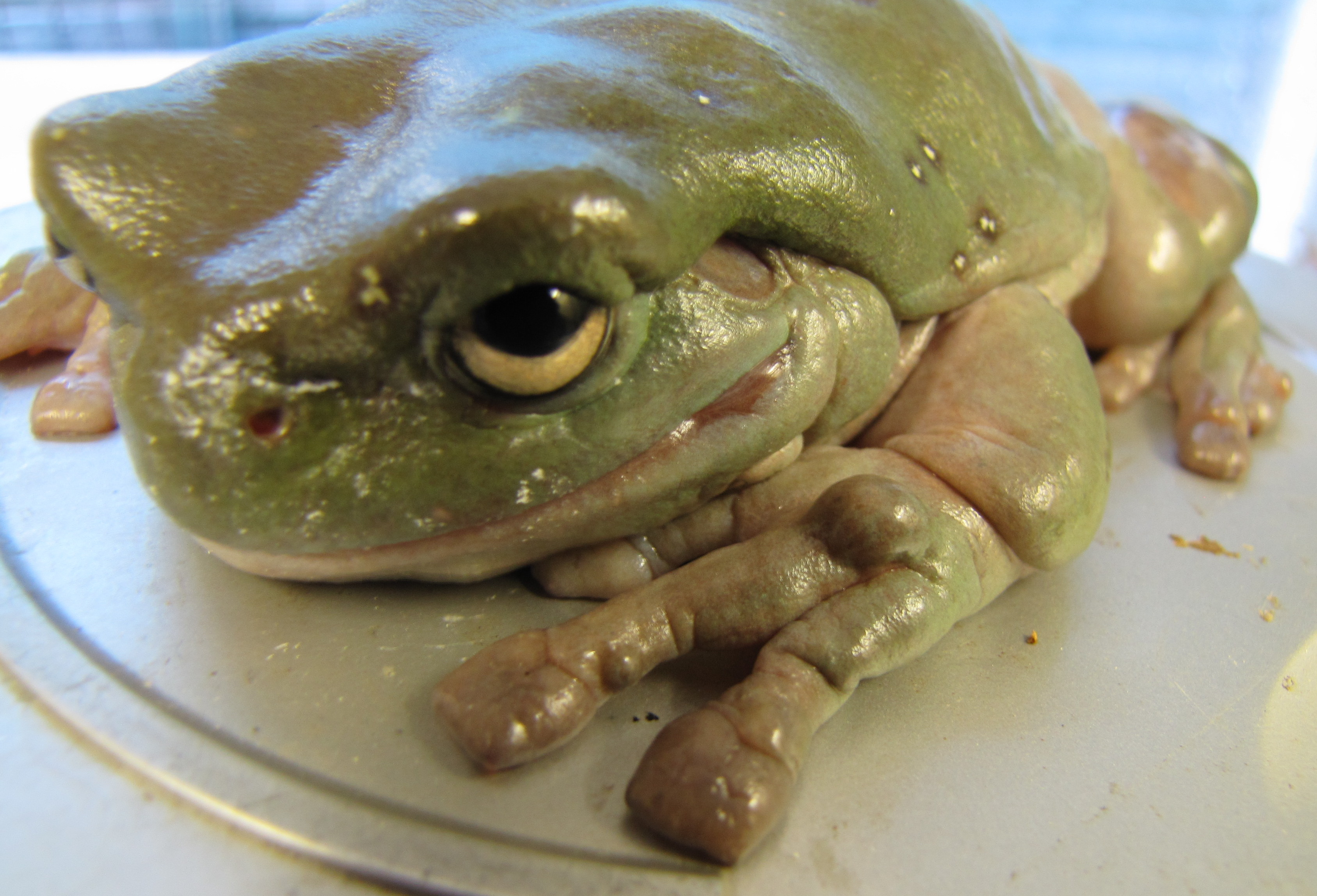patients - tree frog with foot lumps